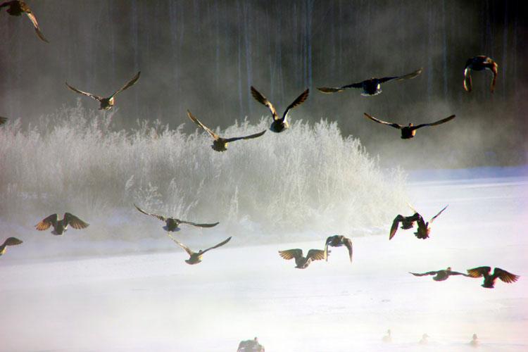 碧泉湖上野鸭飞舞